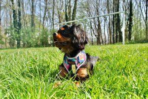 Dachsund in grass, play, toy