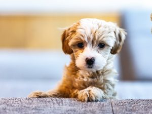 cute doodle mix puppy